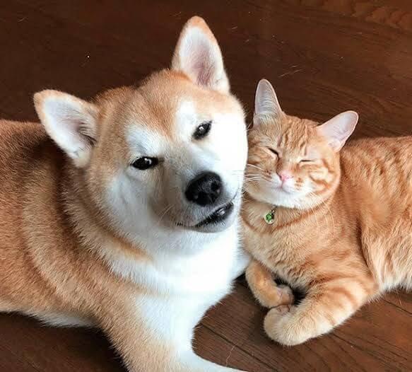 Shiba Inu and Cats
