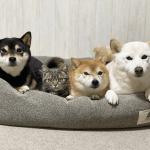 Shiba Inu With Cats