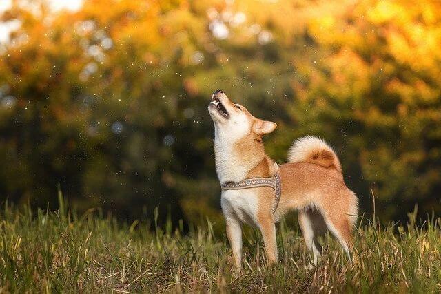Shiba Inu VS Siberian Husky shiba inu aggressive Shiba Inu Howl