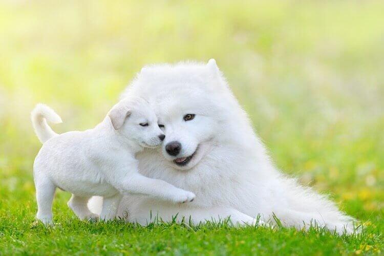 Samoyed VS Shiba Inu