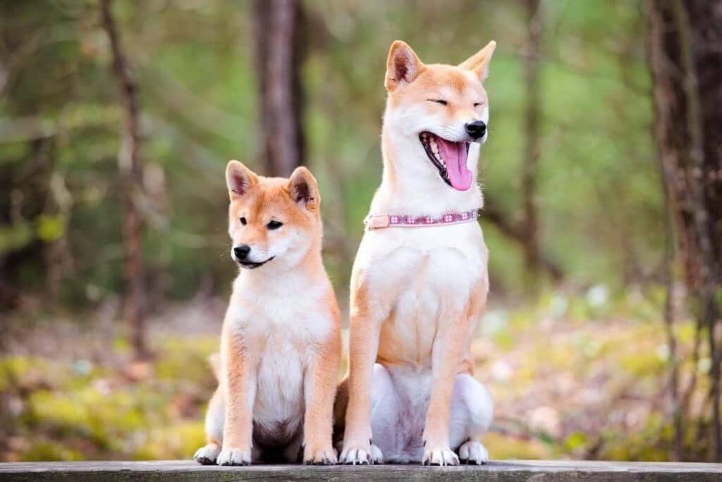 Shiba Inu Loyal guard dog glaucoma in shiba inus Therapy dog Male VS Female Shiba Inu