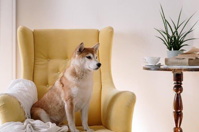 Shiba Inu Guard Dog