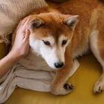 Samoyed VS Shiba Inu Shiba Inu affectionate