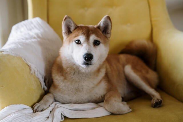 Therapy dog Shiba Inu Apartment dog